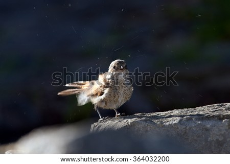 Shrike on top of mountain