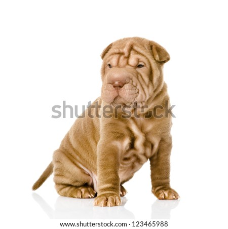 shrpei puppy dog. isolated on white background
