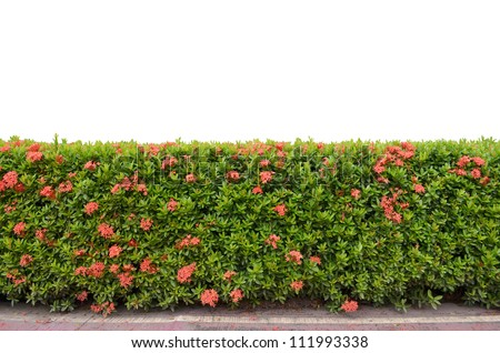 shrub fence isolated on white background - stock photo