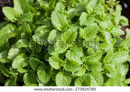 shrub of fresh green lemon balm in garden - stock photo