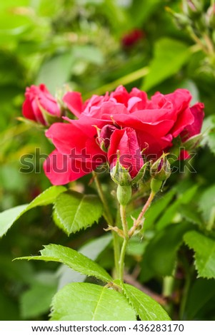 Shrub red roses. Flowering plants used in landscaping and ornamental horticulture. - stock photo