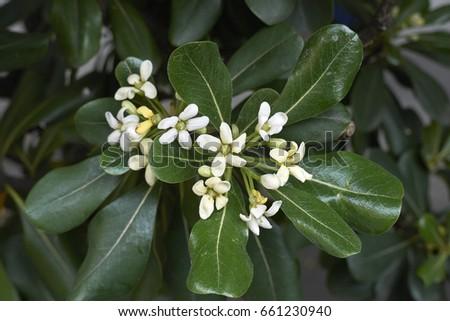 Shrub fragrant white flowers stock photo 100 legal protection shrub with fragrant white flowers mightylinksfo