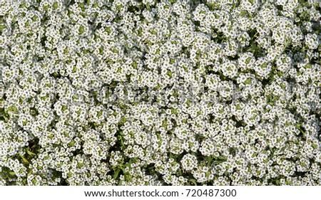Shrub small white flowers background white stock photo edit now shrub with small white flowers a background of white small flowers mightylinksfo