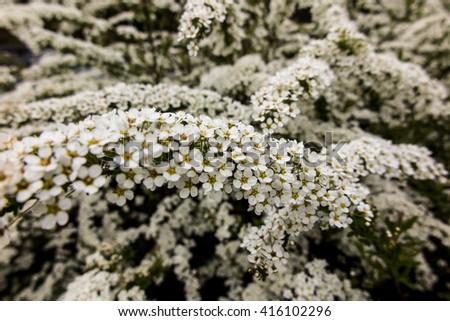 Shrub small white flowers van houttea stock photo royalty free shrub with small white flowers van houttea spirea spiraea vanhouttei mightylinksfo