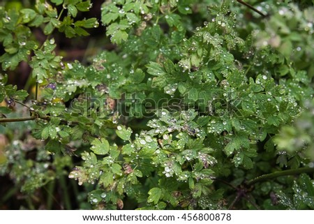 shrubbery with dew