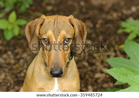 Shy dog is a beautiful golden brown dog looking up at the camera with big soft brown sad eyes. - stock photo