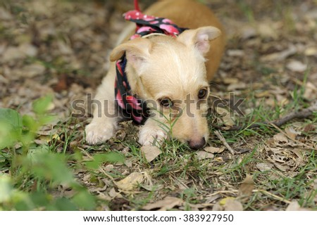 Shy Dog is a cute puppy outdoors hiding behind a blade of grass looking very cute and shy. - stock photo