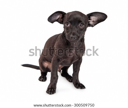 Shy little black color Chihuahua crossbreed two month old puppy dog sitting on a white background - stock photo