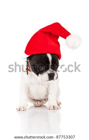 shy little santa - cute french bulldog puppy with a santa hat over white background