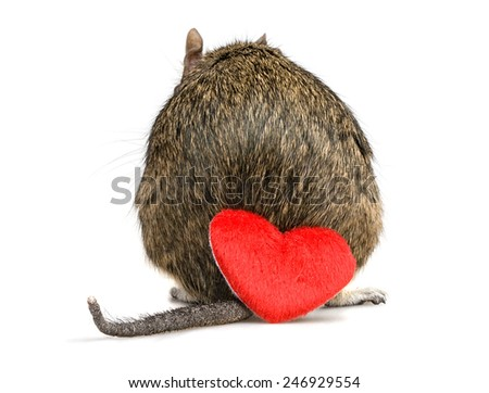 shy small rodent back with tail and red plush heart on valentine day - stock photo