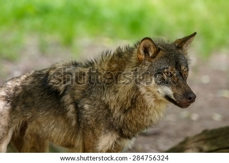 shy wolf - stock photo