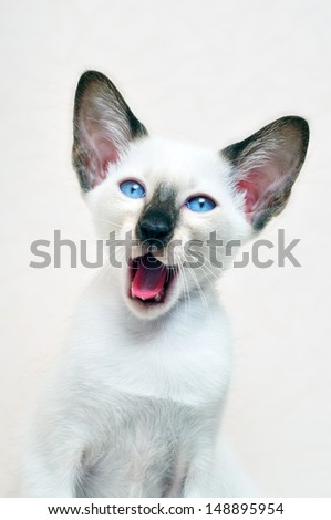 siam cat with blue eyes - stock photo