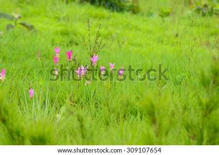 Siam Tulip are blooming, Sai Thong National Park, Chaiyaphum - stock photo