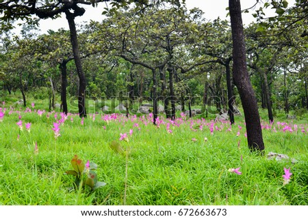 Siam tulip field are blooming in rainy season on the mountain of in Chaiyaphum province, Thailand.