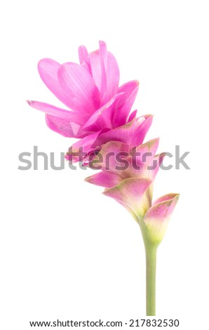 Siam tulip or Curcuma flower in Thailand on white background