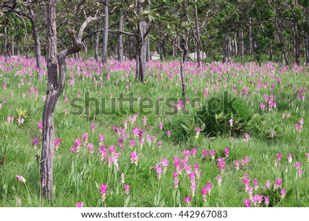 Siam tulips (Curcuma alismatifolia) blooming in the jungle at Chaiyaphum province, Thailand