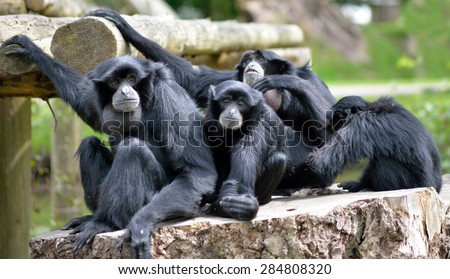 Siamang Gibbon family relaxing in fota wildlife park near cobh county cork ireland - stock photo