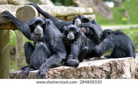 Siamang Gibbon family relaxing in fota wildlife park near cobh county cork ireland - stock photo