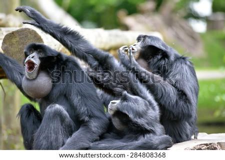 Siamang Gibbon family screaming in fota wildlife park near cobh county cork ireland - stock photo
