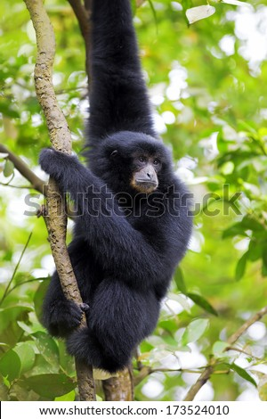 Siamang Gibbon hanging in the trees in Malaysia - stock photo