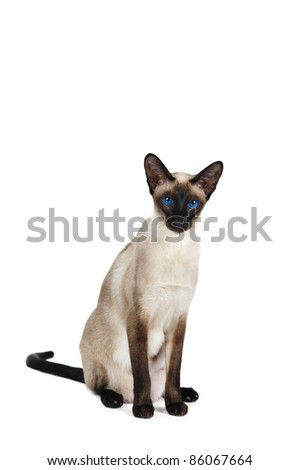 Siamese cat in front of white background - stock photo