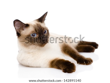 siamese cat. isolated on white background - stock photo