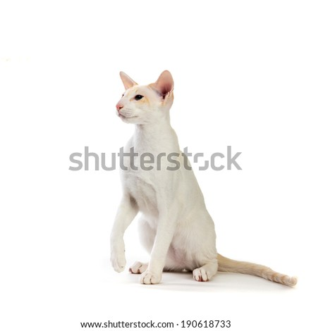 Siamese cat. isolated on white background