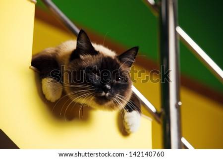 Siamese cat laying - stock photo