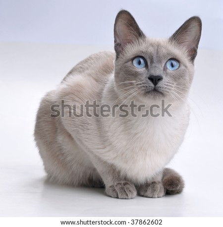 Siamese Cat Looking Curious - stock photo