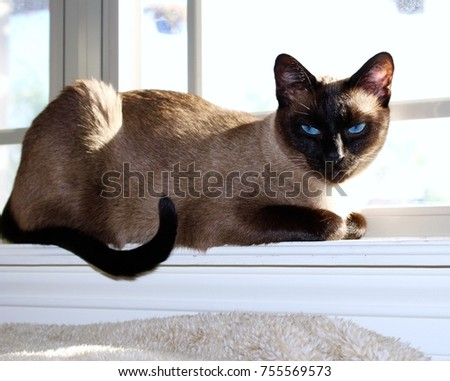 Siamese cat lounging