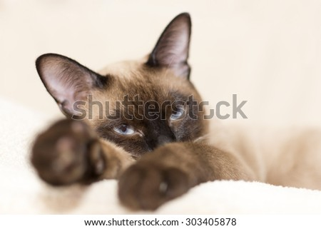 Siamese cat lying down on beige background - stock photo