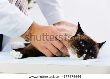 Siamese cat lying on table and checked up by veterinarian - stock photo