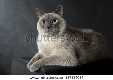 Siamese cat on a black background - stock photo