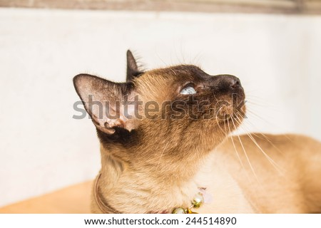 Siamese cat on a day in the house. - stock photo