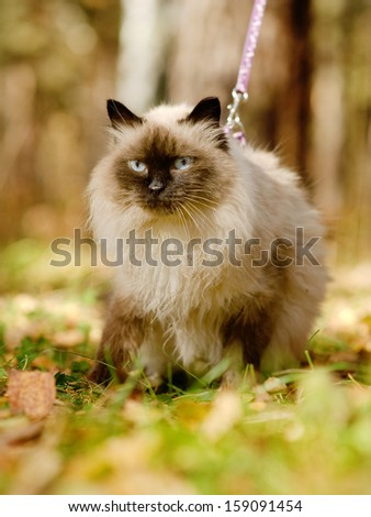 Siamese cat on a leash - stock photo