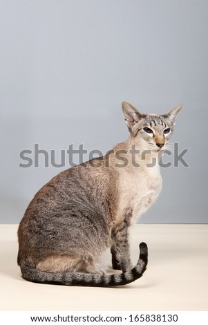 Siamese cat on gray background in studio