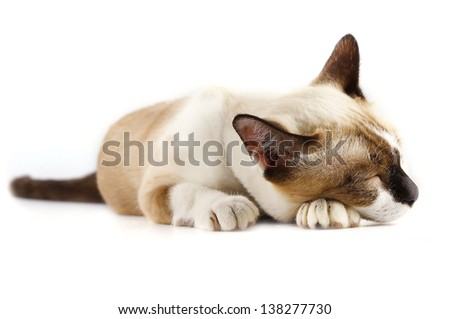 Siamese cat on white background .