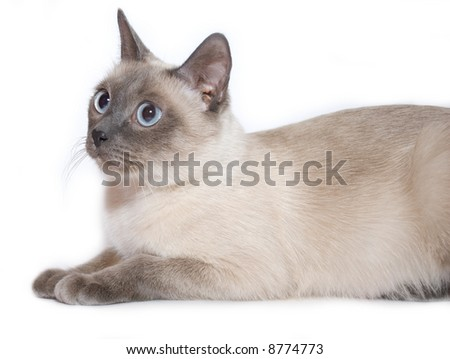 Siamese cat on white background