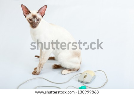 Siamese Cat playing with computer mouse - stock photo