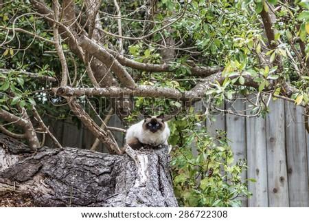 Siamese cat posing in tree. Beautiful blue eyes. - stock photo
