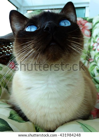 Siamese cat sitting on an armchair staring. Curious, smart and fluffy pussycat with blue eyes. - stock photo