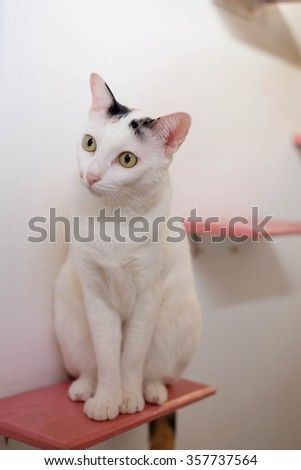 Siamese cat sitting on pink step wall for cat. - stock photo