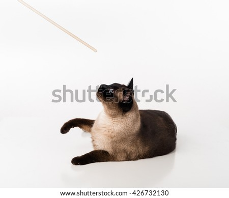 Siamese Cat Sitting on the white desk and looking up to Wooden Stick. White background