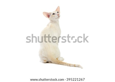 Siamese cat sitting on white background