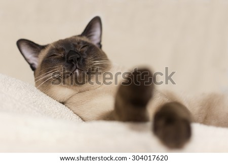 Siamese cat sleeping down on beige background - stock photo