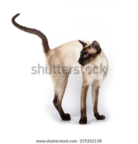 Siamese cat standing with raised tail Isolated on white background - stock photo