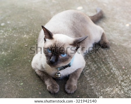 Siamese cat,Thailand. - stock photo