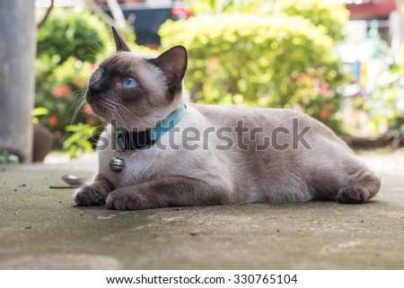 Siamese cat,Thailand. - stock photo