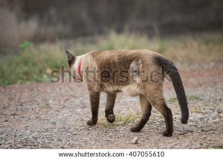 Siamese cat,Thailand cat,Close up. - stock photo