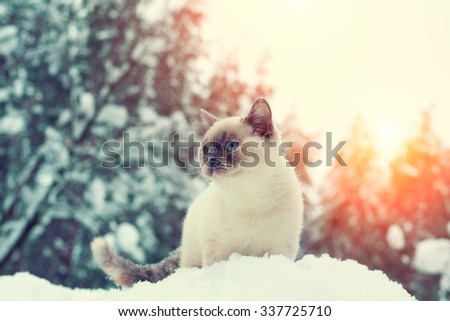 Siamese cat walking in the snowy forest - stock photo